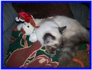 ragdoll Cat, Seal Point