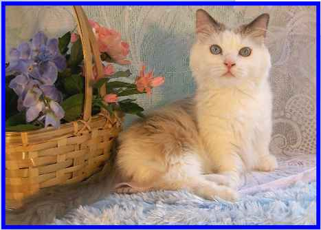 Blue Point Bi-Color Munchkin Cat