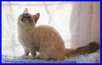 Munchkin Cat, Blue Lynx point